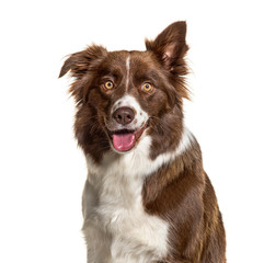 Wall Mural - Close-up of a Border Collie, isolated on white