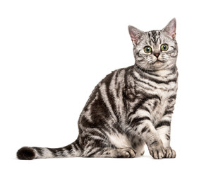 Wall Mural - Sitting British Shorthair, isolated on white