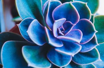 Amazing close up of rare succulent plant
