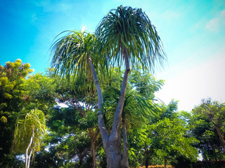 Warm Atmosphere On Evergreen Perennial Tree Of Elephant's Foot Or Ponytail Palm Or Beaucarnea Recurvata