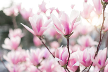 Photo sur Toile Magnolia Spring flowers. Magnolia blooming in park at sunset. Pink bushes at city streets. Blossom tree in garden. Floral background.