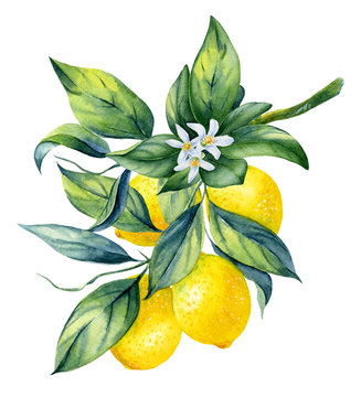Watercolor illustrations with lemons isolated on the white background: fruits, branch and leaves.Element for design,card, invitation, poster.