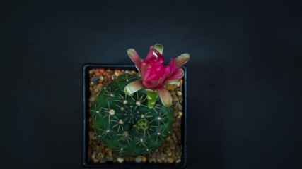 Wall Mural - Time lapse of Pink cactus flowers blooming on black background.
