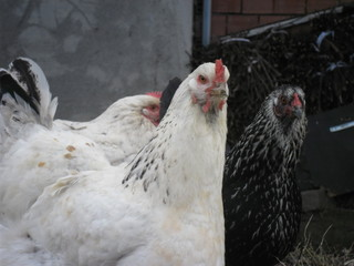 organic chicken outdoors