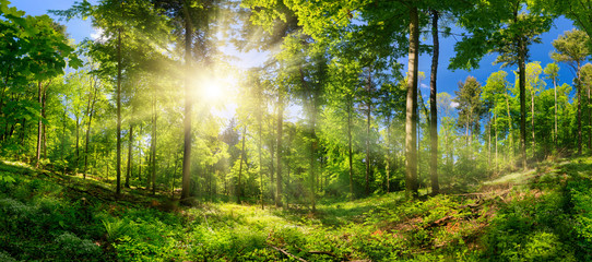Zelfklevend Fotobehang Lente Scenic forest of deciduous trees, with blue sky and the bright sun illuminating the vibrant green foliage, panoramic view