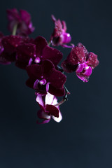A branch of a beautiful orchid in bloom on a black background. Phalaenopsis of lilac and violet...