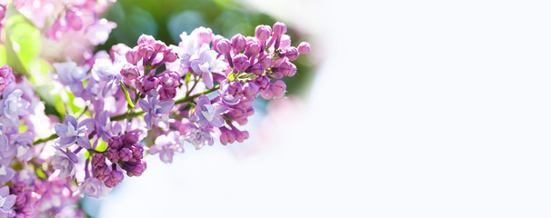 Fotorollo Flieder Macro view blossoming Syringa lilac bush. Springtime landscape with bunch of violet flowers. lilacs blooming plants background. soft focus photo. copy space.