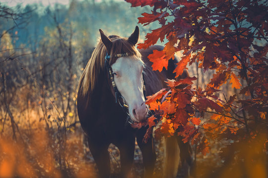 Red horse with white face and blue eyes on autumn background