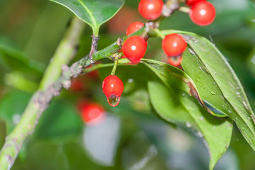 Red berries on a holly bush Autumn in the rain