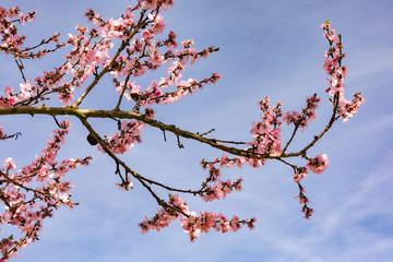 Idyllisches Blütenmeer mit rosa Kirschblüten im Frühling