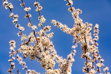 Weiße Kirschblüten vor dem blauen Himmel in Deutschland