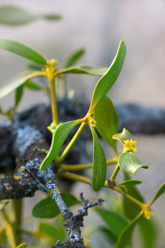 Mistletoe blossoms on  branches in spring