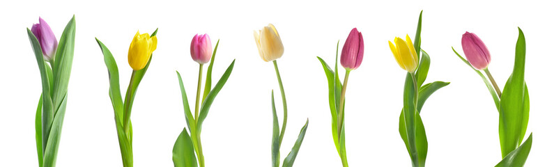 Foto op Canvas Tulp Beautiful tulip flowers on white background