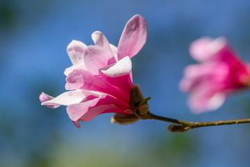 Wall Mural - Pink blooming magnolia
