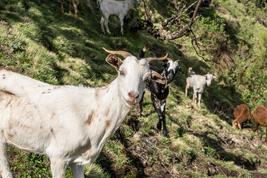 Goats in the Simien Mountains