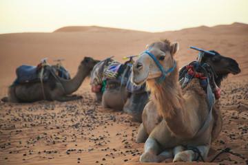 Fotorolgordijn Kameel paseo en camello