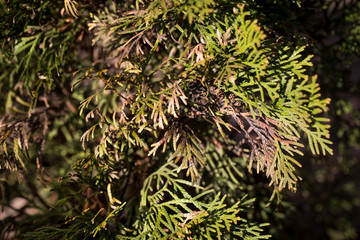 Large coniferous thuja disease. Withered branches. Plant treatment.