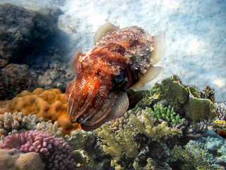 Wall Mural - Cuttlefish, (Sepia officinalis)