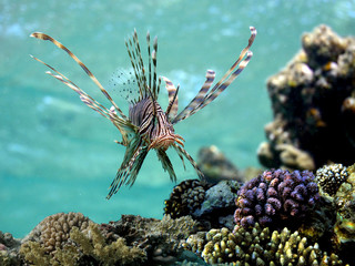 Wall Mural - Red lionfish (Pterois volitans) underwater.