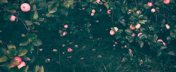 Fresh ripe apples hanging on tree branches and lying on fresh grass in the garden.