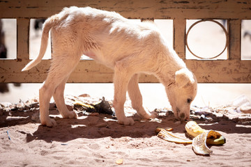 Sad, neglected, mistreated or abused and abandoned juvenile white stray dog looking for food, and sniffing on a banana out of hunger.  Wall mural