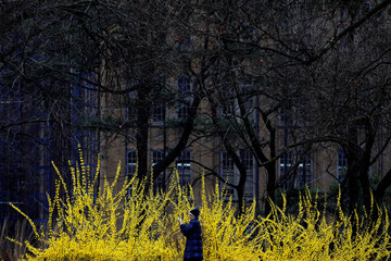 A person takes a photo in front of a blooming Forsythia plant in Fort Greene Park as the coronavirus disease (COVID-19) saw more people avoiding public spaces in Brooklyn, New York City