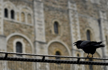 A raven sits on the fence of the Tower of London as the spread of the coronavirus disease (COVID-19) continues, in London