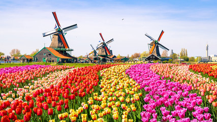 Foto op Canvas Tulp dutch windmill in holland