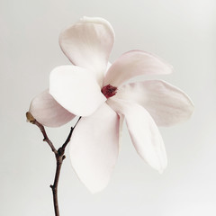 Printed kitchen splashbacks Magnolia Beautiful fresh white magnolia flower in full bloom on white background.