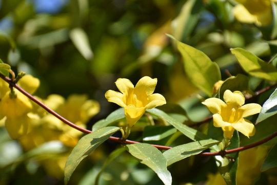 Yellow Carolina Jessamine Jasmine Vine