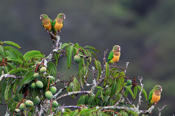 flock of parrot perched on a mango tree