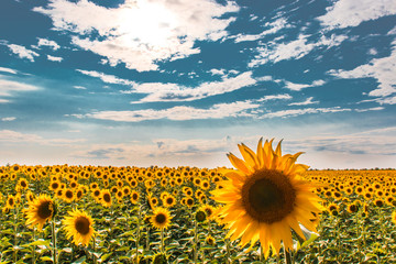 Field of sunflowers against a cloudy sky