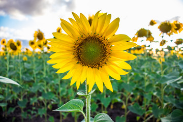 Blooming sunflower on a background of a field of sunflowers