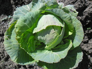 cabbage vegetable agriculture