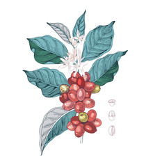 Hand drawn illustration of Coffee branch with seeds, fruits and flowers. Sketched coffee plant