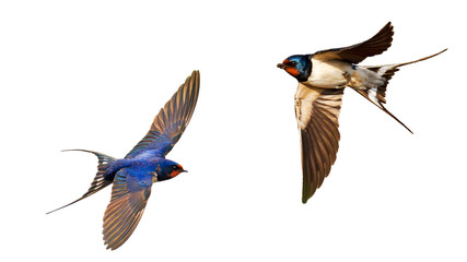 flying swallows isolated on white background