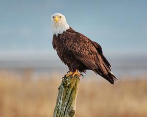 Bald Eagle preparing for hunt