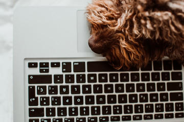.Nice and sweet spanish water dog working from home with his laptop on top of the bed in the coronavirus global crisis. Lifestyle. Close up