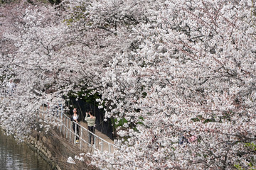 People take pictures as they walk past blooming cherry trees in smaller numbers than usual, due to a global outbreak of coronavirus disease (COVID-19), in Washington