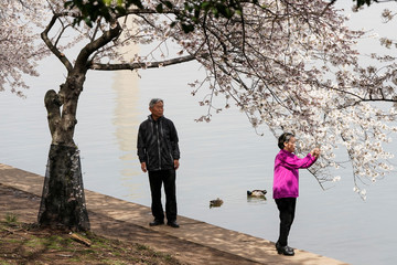 A couple makes a photograph of blooming cherry trees during a global outbreak of coronavirus disease (COVID-19) in Washington