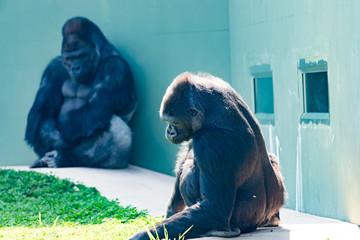 Fototapeta 動物園のゴリラ obraz
