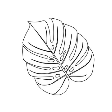 Monstera Deliciosa plant leaf from tropical forest