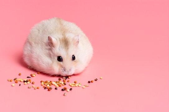 Dwarf fluffy hamster eats grain on pink background, copy space.
