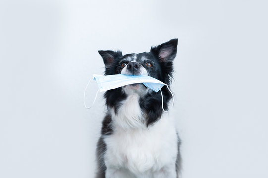 Dog holding in a mouth a surgical mask