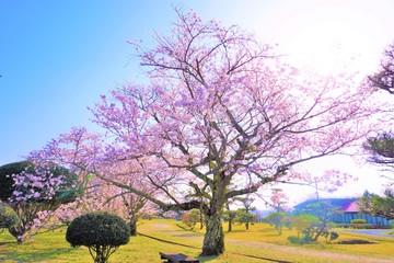 Keuken foto achterwand Kersenbloesem 庭園の美しい桜
