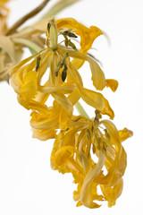 Verwelkte gelbe Tulpen auf einen weißen Hintergrund freigestellt.