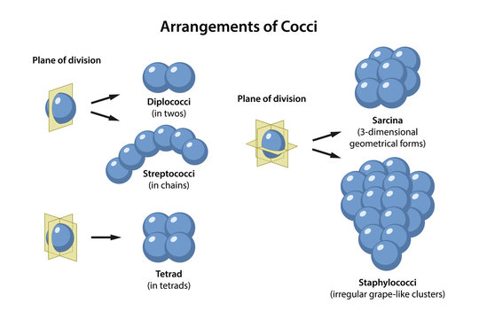 Arrangements of Coccus Bacteria in plane of division. Microbiology. Coccus morphology: monococcus, diplococcus, streptococcus, tetracoccus, sarcina, staphylococcus. Vector illustration