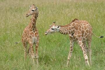 Two reticulated giraffes standing in grasses Wall mural