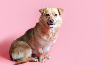 Fototapeta joyful smiling mongrel red dog on a pink colour background