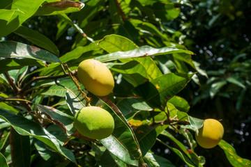 Tropen - Mangobaum